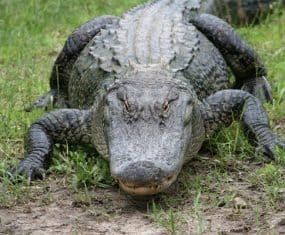 Alligator or Crocodile Dream Meaning