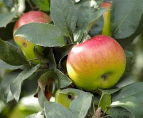 Apple Dream Meaning and Symbolism