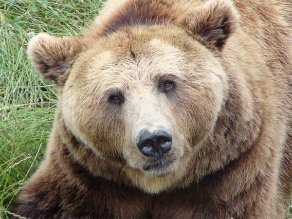 bear dream meaning symbol