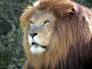 Lion or Lioness Dream Interpretation and Meaning | Journey