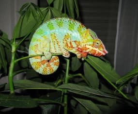 Chameleon Dream Meaning