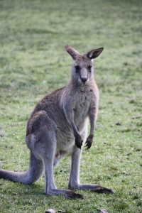 Kangaroo Spirit Animal and Dream Meaning | Journey Into Dreams