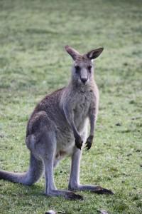 kangaroo dream meaning