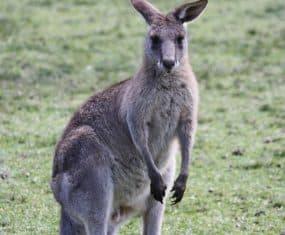 Kangaroo Spirit Animal and Dream Meaning