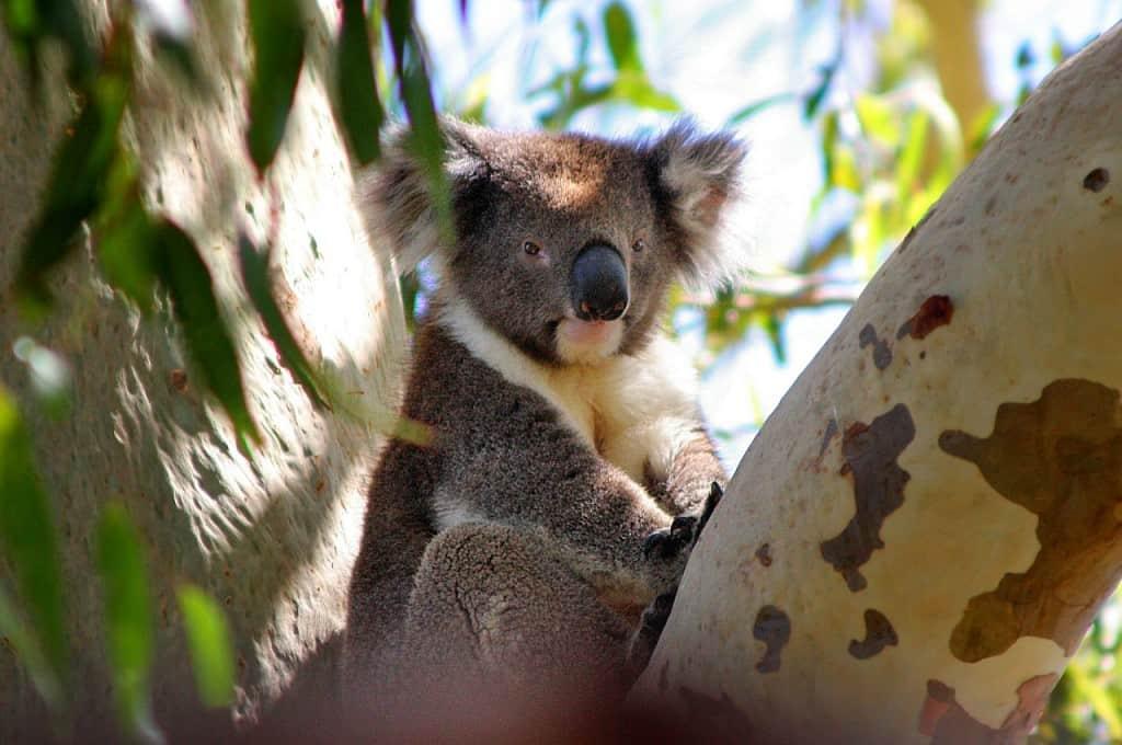 koala bear dream meaning