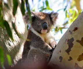 Koala Bear Dream Meaning