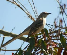 Mockingbird Spirit Animal and Dream Meaning