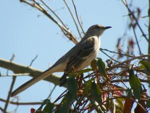 mockingbird-246573_1280