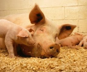Pig Dream Meaning Interpretation