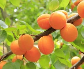 Apricot Dream Symbol Meaning