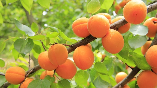apricot dream meaning
