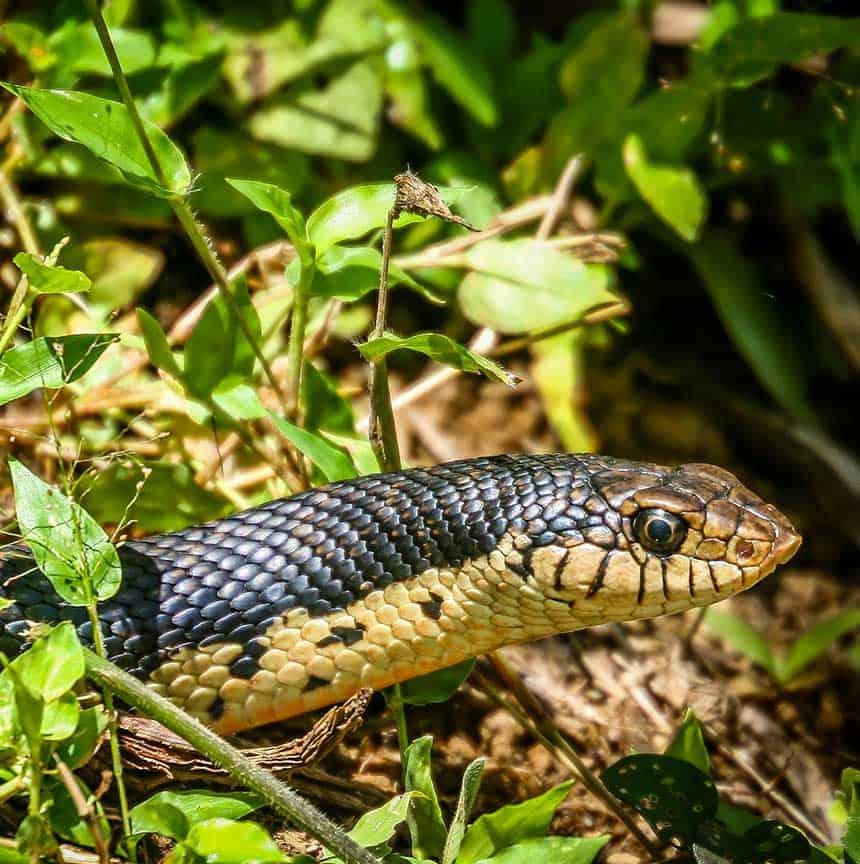 black madagascar snake