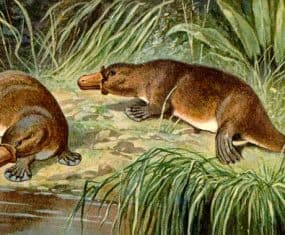 Platypus Dream & Spirit Animal Meaning