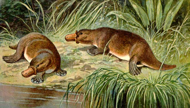 platypus dream meaning