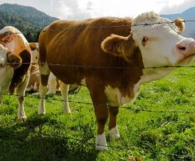 Cows and Cattle: Spirit Animals & Dream Meaning