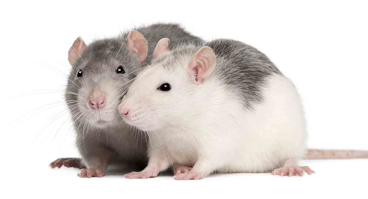 dream about rats meaning