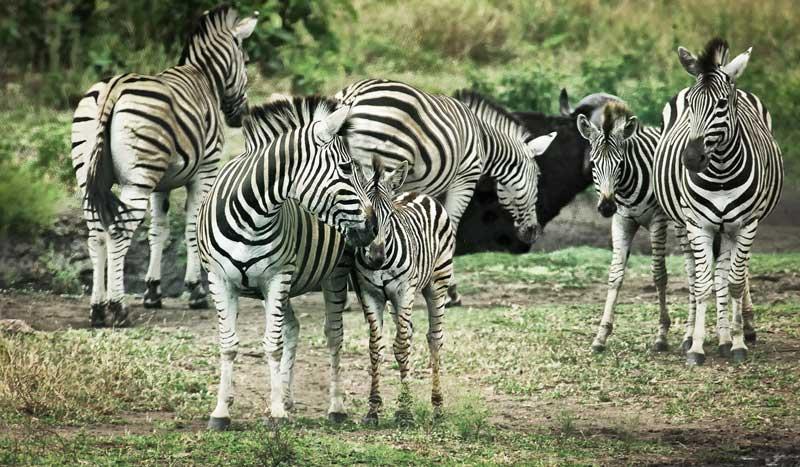 zebra community