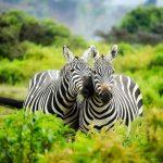zebra dream meaning