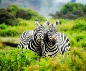 zebra dream meaning