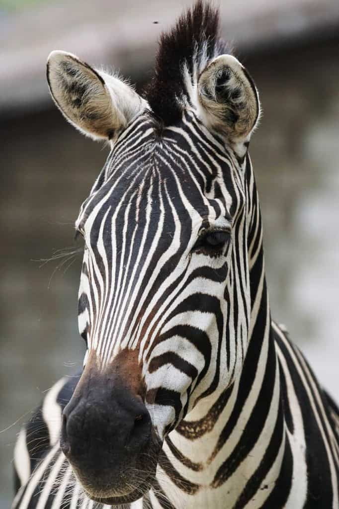 zebra symbol unique