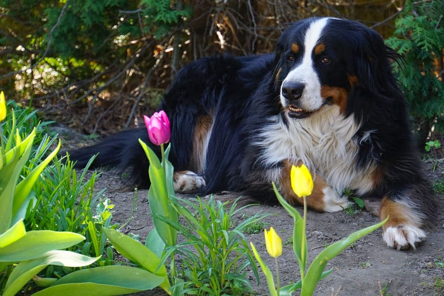 bernese mountain dog symbol for loyalty