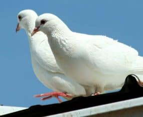 dove and pigeon symbol meaning