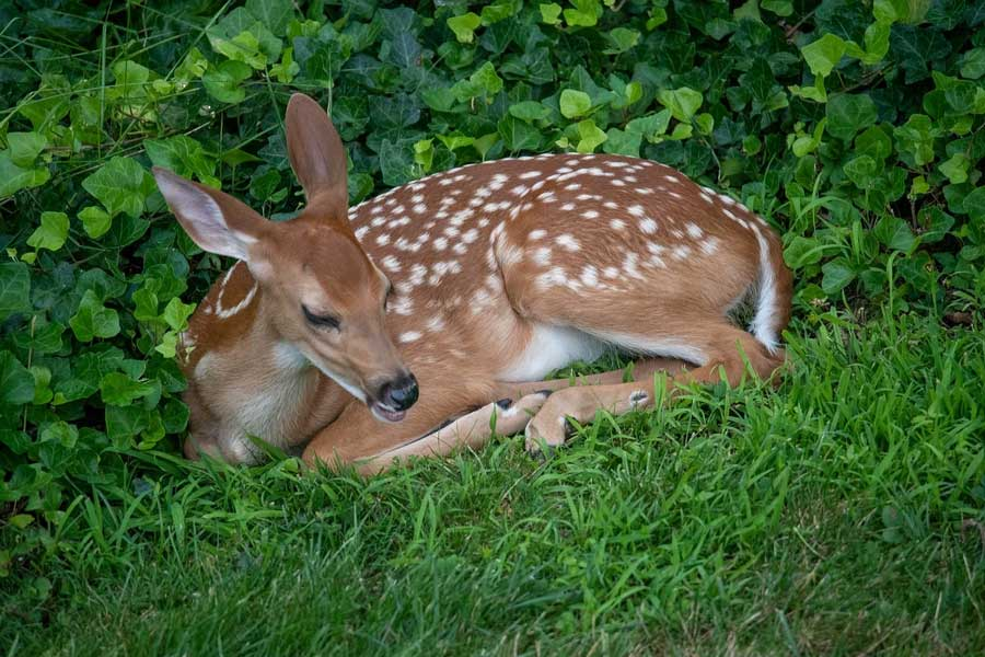 deer surrounded by ivy