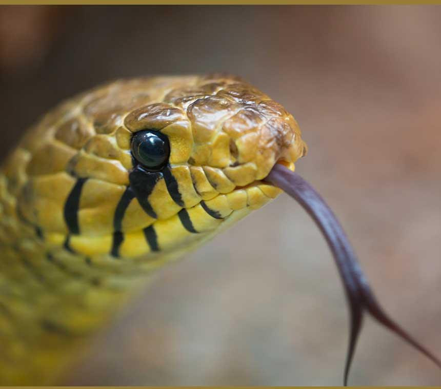 Snakes Dream Meaning And Symbolism Journey Into Dreams