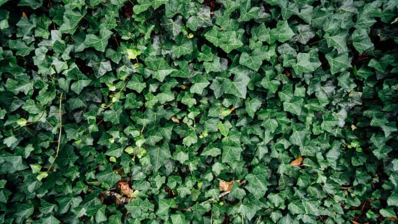 meaning of ivy