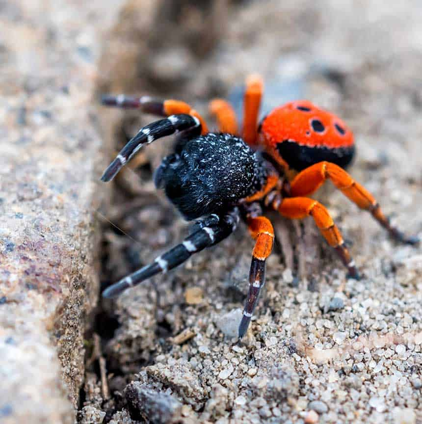 orange and black spider