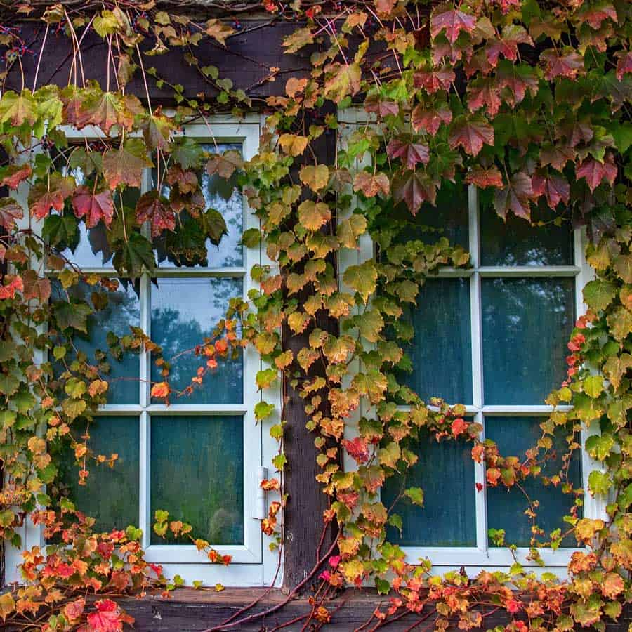 window covered in ivy dream example