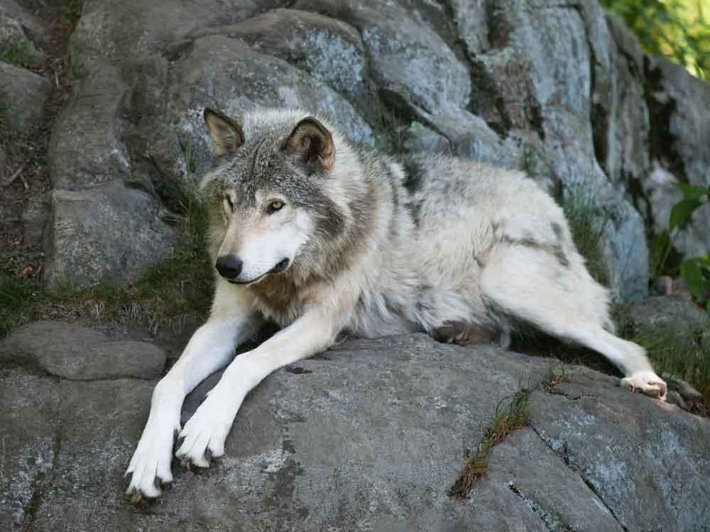 timber wolf on rocks