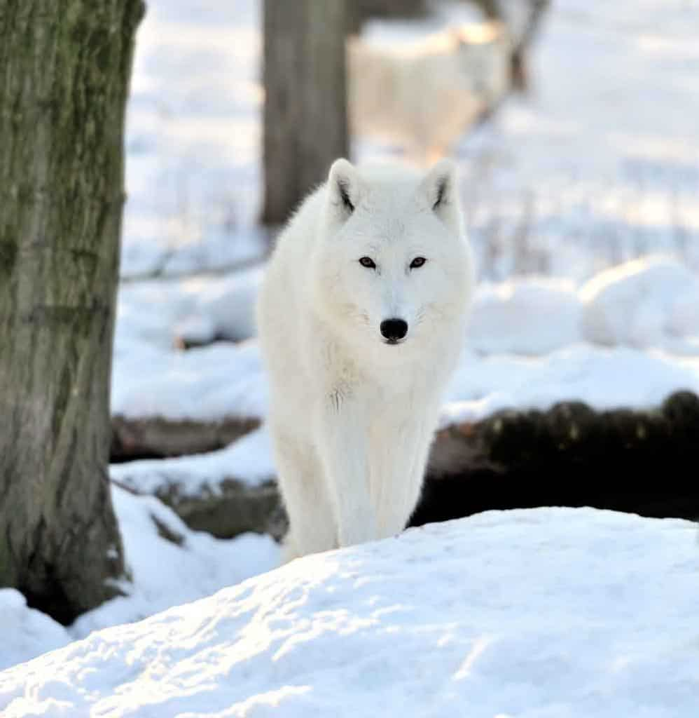 white wolf in the snow