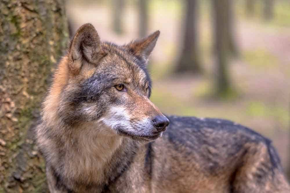 wolf dream meaning