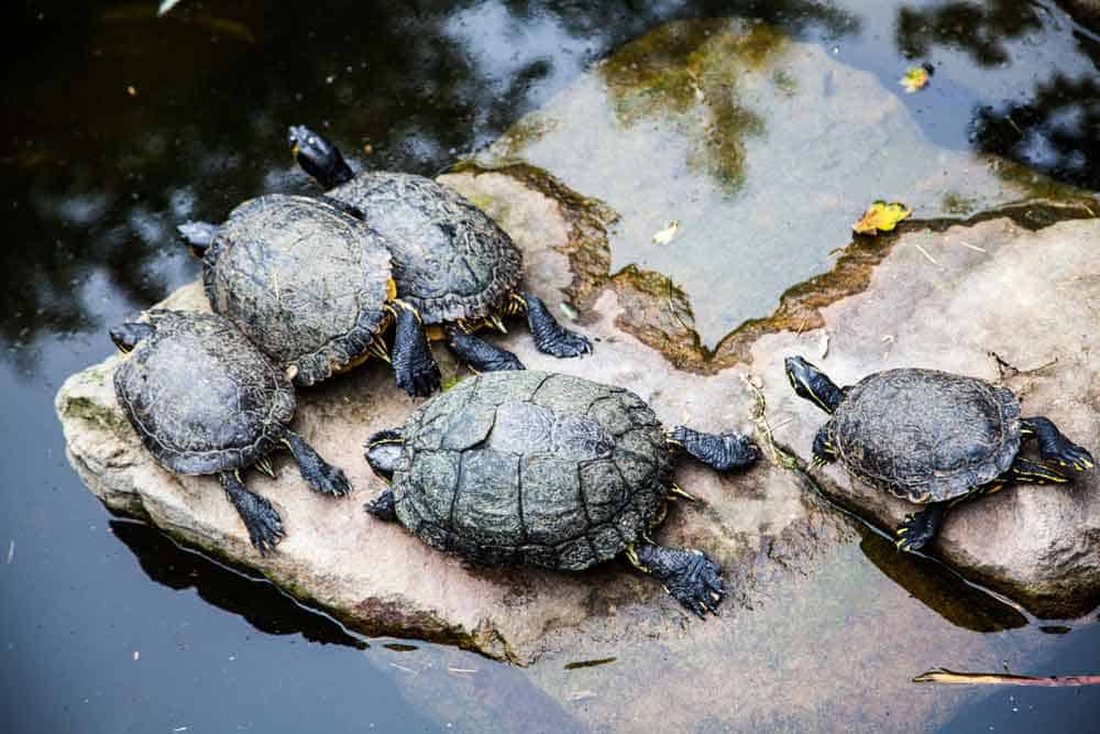 Group of Turtles on Rock