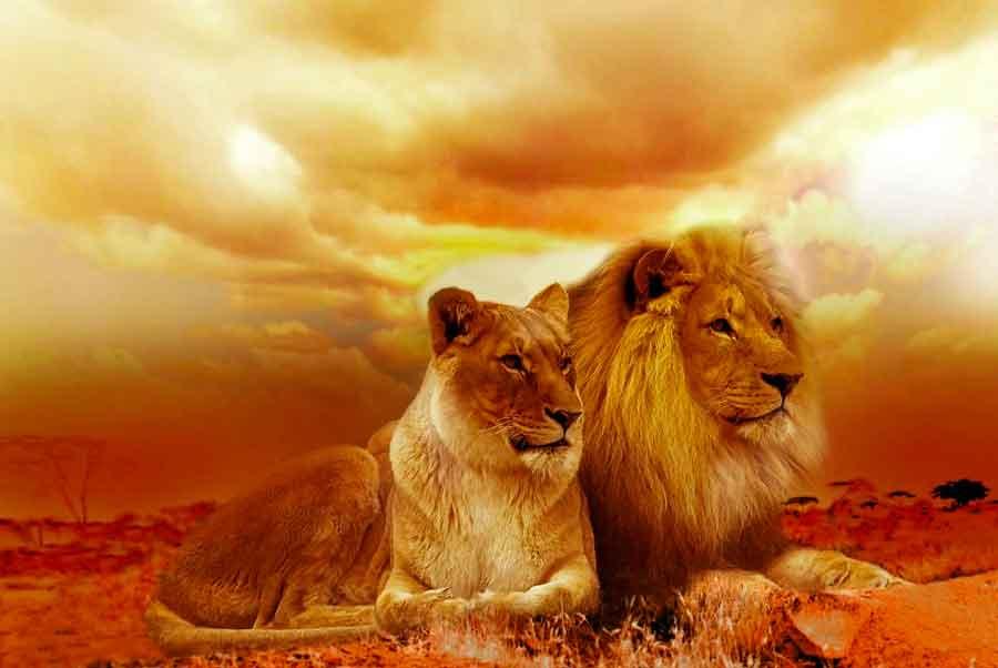 lion couple as symbol for leos romantic traits