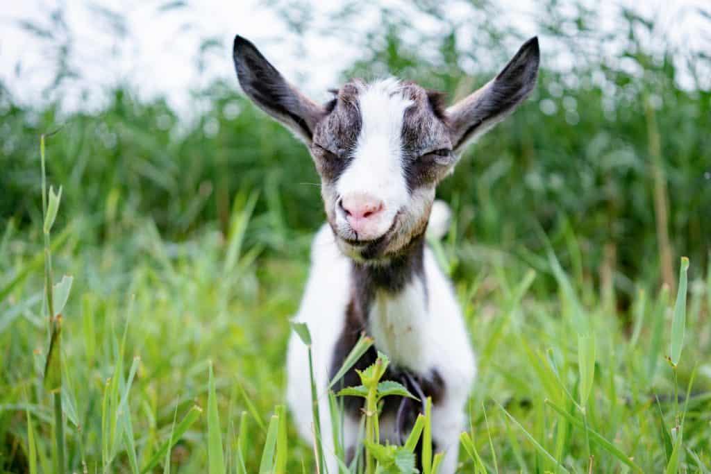 Domestic litltle goat on leash in pasture