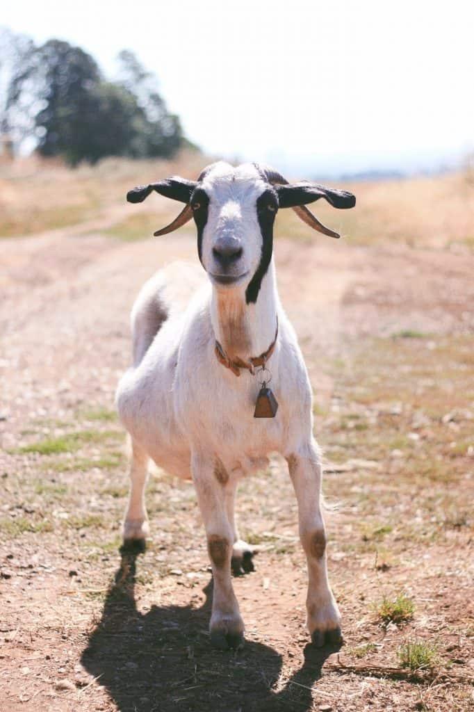 Farm goat.
