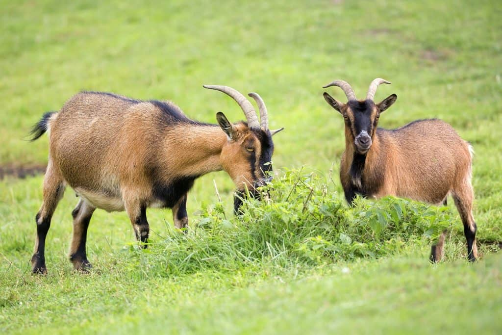 Goats in a clearing