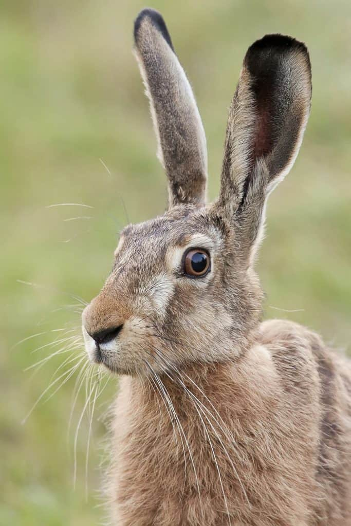 Hare in a clearing
