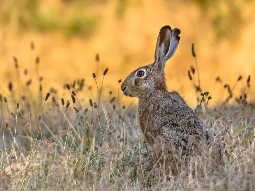 Lepus. Wild European brown hare on orange background