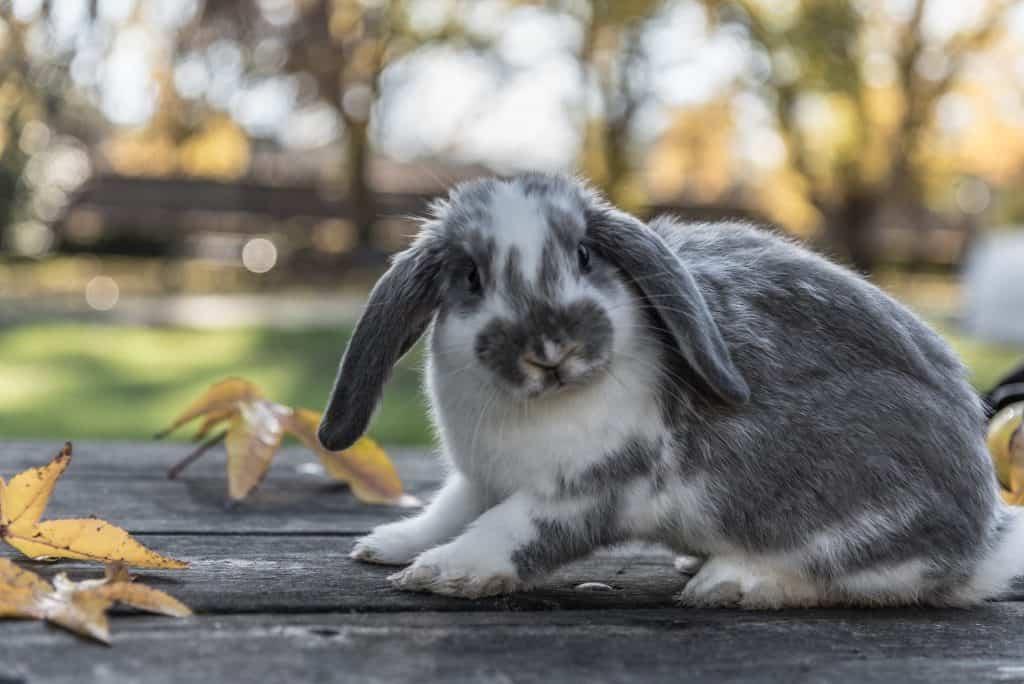 rabbit, bunny